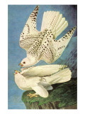 Falcons Prints by John James Audubon