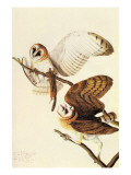 Barn Owl Print by John James Audubon