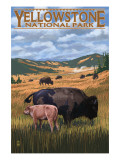 Bison and Calf Grazing - Yellowstone National Park Poster