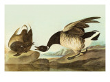 Brant Print by John James Audubon