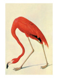 Flamingo Láminas por John James Audubon