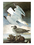 Herring Gull & Black Duck Print by John James Audubon