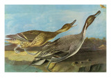 Pintail Print by John James Audubon