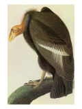 Condor de Californie Reproduction giclée Premium par John James Audubon