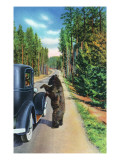 Yellowstone Nat'l Park, Wyoming - Bear Begging by a Car Prints by  Lantern Press