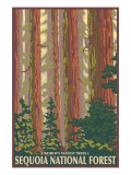 Sequoia National Forest, CA Redwood Trees Art by  Lantern Press