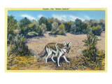 View of the Desert Outlaw, the Coyote Affiches