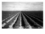 Brownsville, Texas - Lower Rio Grande Valley Carrot Field Art by  Lantern Press