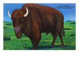 Wind Cave Nat'l Park, South Dakota - Bull Buffalo in Black Hills Prints by  Lantern Press