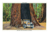 Big Basin, California - The Auto Tree Print by  Lantern Press