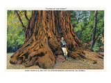 Big Basin, California - Father of the Forest Tree, 5000 Years old Art