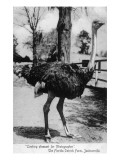 Jacksonville, Florida - Ostrich Farm Scene Print