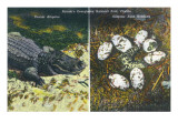 Everglades Nat'l Park, Florida - View of Alligator and Hatching Eggs Prints