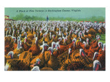 Virginia - Rockingham County Turkey Flock Posters by  Lantern Press