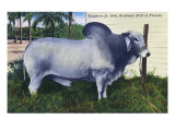 Florida - Emperor Jr 10th Brahman Bull Prints by  Lantern Press