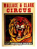 Wallace & Clark Cirbus - Giant Siberian Tigers Poster, Circa 1945 Giclee Print