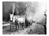 Milwaukee Road, Hauling Supplies, Oct. 24, 1906 Giclee Print by Asahel Curtis