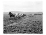 Cutting Alfalfa Ellensburg, 1911 Giclee Print by Asahel Curtis