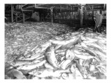 Apex Cannery Salmon, 1913 Giclee Print by Asahel Curtis