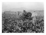 Plowing the Beet Field, 1928 Giclee Print by Asahel Curtis