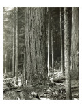 Mount Rainier Road, Large Fir Trunk, 1914 Giclee Print by Asahel Curtis