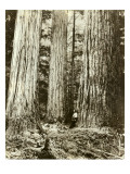 Cedar on Left, Douglas Fir on Right, Undated Giclee Print by Asahel Curtis