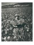 Flowers in Puyallup, 1925 Reproduction procédé giclée par Marvin Boland