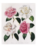 Blooms of Various Flowered Camellia Giclee Print by Mrs Withers