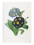 Primula Auricula Giclee Print by Pierre-Joseph Redouté