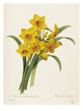 Narcissus Giclee Print by Pierre-Joseph Redout&#233;