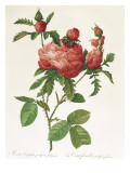 Rosa Centifolia Prolifera Foliacea Giclée-Druck von Pierre-Joseph Redouté