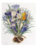 A Study of Spring Crocuses Giclee Print by C . J . Robertson
