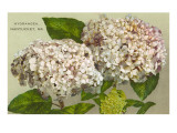 Hydrangeas, Nantucket, Massachusetts Art