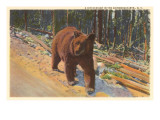 Bear in the Adirondack, New York Print