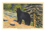 Black Bear, Glacier Park, Montana Posters