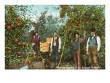 Apple Harvest, Oregon Prints