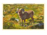 Bighorn Sheep, Yellowstone Park Print