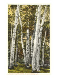 Silver Birches, Lake George, New York Prints