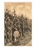 Tall Corn, Pine Plains, New York Poster