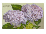 Hydrangeas, Nantucket, Massachusetts Prints