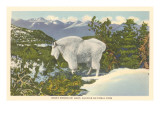 Rocky Mountain Goat, Glacier Park, Montana Prints