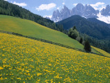 Dolomites Mountains and Wild Yellow Flowers, Villnoss / Val Di Funes, Trentino, Italy Photographic Print by Steve Vidler