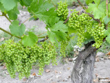 Grapes on Vine in a Vineyard, Bordeaux, France Photographic Print by Nadia Isakova