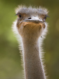 Ostrich, Lewa Wildlife Conservancy, Kenya Photographic Print by Demetrio Carrasco