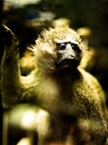 A Taxidermy Tree Monkey Photographic Print by Clive Nolan
