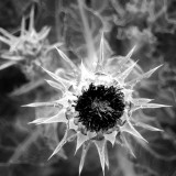 Thistle II Photographic Print by Lydia Marano