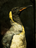 A Taxidermy King Penguin Photographic Print by Clive Nolan