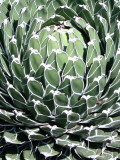 Queen Victoria Agave Photographic Print by Lydia Marano