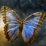 Creative Image of a Mounted Exotic Butterfly Photographic Print by Clive Nolan