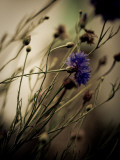 Blue Flower with Blurred Background Photographic Print by Clive Nolan
